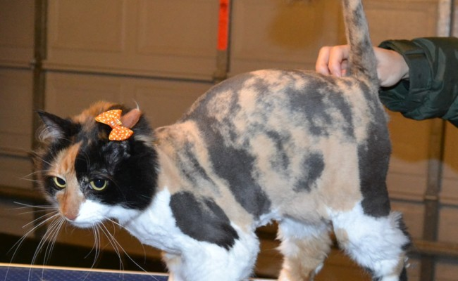 Baby is a Medium Hair Calico. She had her fur shaved down, ears cleaned and nails clipped. — at Kylies Cat Grooming Services.