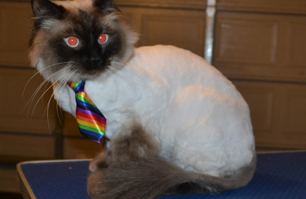 Wags is a Ragdoll. he had his nails clipped, fur shaved down and ears cleaned. — at Kylies Cat Grooming Services.