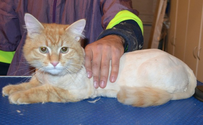 Shifty is a Medium Hair Ginger. He had his matted fur shaved off, nails clipped and ears cleaned. — at Kylies Cat Grooming Services