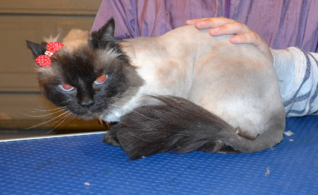 Milly is a Ragdoll. She had her matted fur shaved off, nails clipped and ears cleaned. — at Kylies Cat Grooming Services.