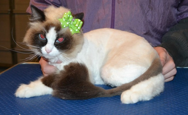 Pepper is a Ragdoll. She had her fur shaved down, nails clipped and ears cleaned. — at Kylies Cat Grooming Services.