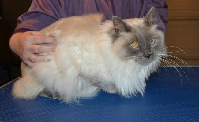 Steve is a Ragdoll. he had his matted fur shaved off, nails clipped, ears cleaned and a full set of Hot Pink nail caps. — at Kylies Cat Grooming Services.