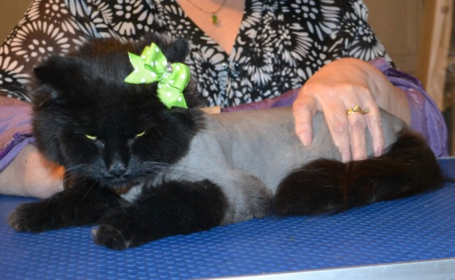Sherry is a Norwegian Forest Cat. She had her matted fur shaved off, nails clipped, ears cleaned and a wash n blow dry. — at Kylies Cat Grooming Services.