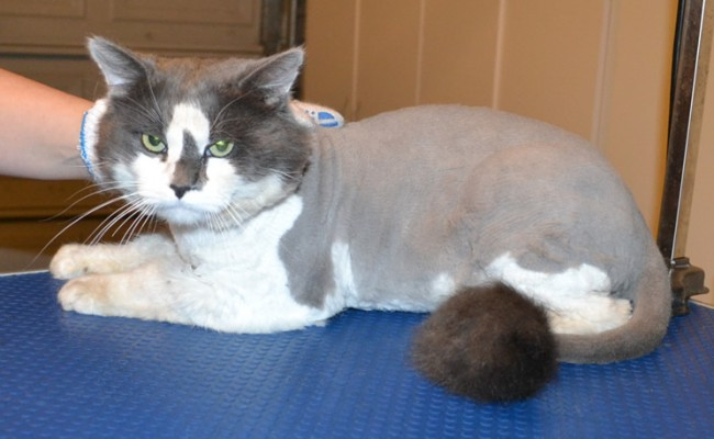 Max is a Medium hair Domestic. He had his fur shaved off, nails clipped, ears cleaned and a wash n blow dry. — at Kylies Cat Grooming Services.
