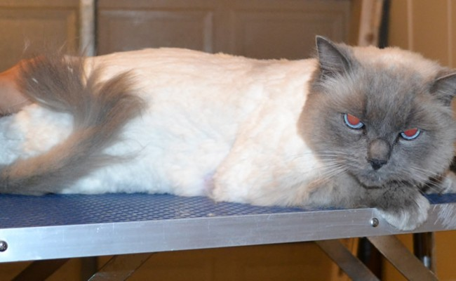 Felix is a Ragdoll. He had his matted shaved off and a full body comb clip, his nails clipped and ears cleaned. — at Kylies Cat Grooming Services.