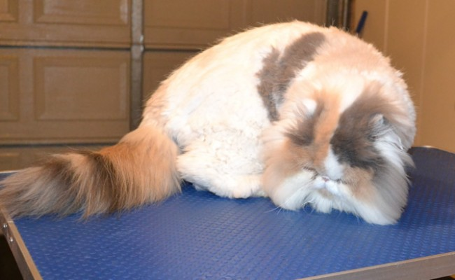 Dolly is a Persian. She had her matted fur shaved off, nails clipped, ears and eyes cleaned a wash n blow dry and a full set of Purple softpaw nail caps. — at Kylies Cat Grooming Services.