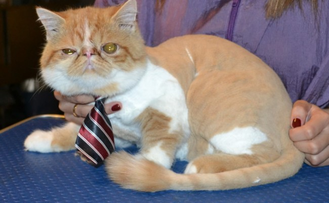 Peanut is a Exotic Short hair. He had his fur shaved off, nails clipped and ears and eyes cleaned. — at Kylies Cat Grooming Services.