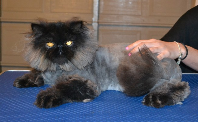 Teddy is a 8 month old Persian. He had his matted fur shaved off, nails clipped, ears and eyes cleaned and a wash n blow dry. — at Kylies Cat Grooming Services.