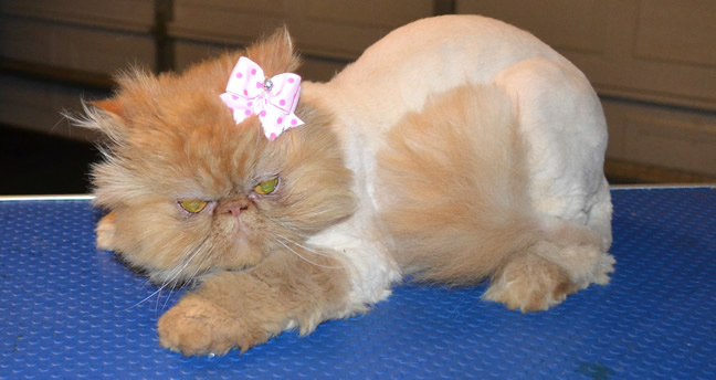 Flame is a Persian. She had her matted fur shaved off, nails clipped and ears and eyes cleaned. — at Kylies Cat Grooming Services.