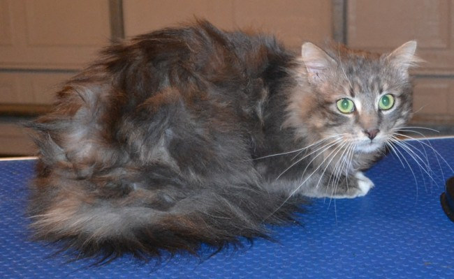 Smokey is a Medium Hair Domestic. He had his matted fur shaved down, nails clipped, ears cleaned and a wash n blow dry. — at Kylies Cat Grooming Services.