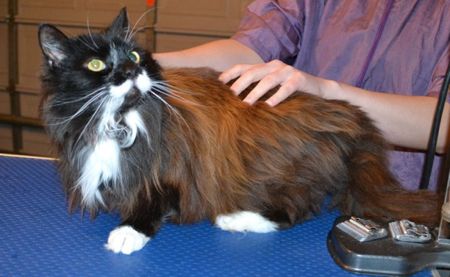 Dori is a 10 yr old Long Hair Domestic with Hyperthyroidism. She had her matted fur shaved of, nails clipped and ears cleaned. — at Kylies Cat Grooming Services.