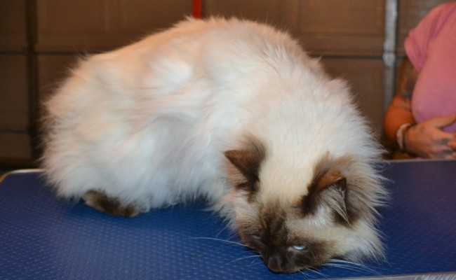 Dusty is a Ragdoll. He had his matted fur shaved off, nails clipped, ears cleaned and a wash n blow dry. — at Kylies Cat Grooming Services.