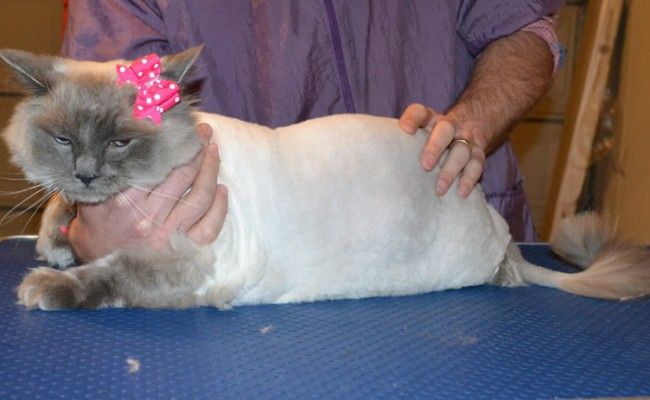 Lexi is a Ragdoll. She had her matted fur shaved off, nails clipped, ears cleaned a wash n blow dry and Pink Softpaw nail caps. — at Kylies Cat Grooming Services.
