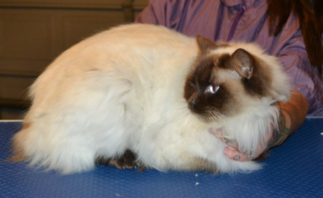 Chanel is a Ragdoll. She had her matted fur shaved off, nails clipped, ears cleaned and a wash n blow dry. — at Kylies Cat Grooming Services.