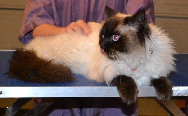 Bella is a Ragdoll. She had her fur shaved down , nails clipped, ears cleaned and a wash n blow dry. — at Kylies Cat Grooming Services.