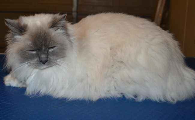 Roxy is a Ragdoll. She had a Comb clip, nails clipped and ears cleaned. — at Kylies Cat Grooming Services.