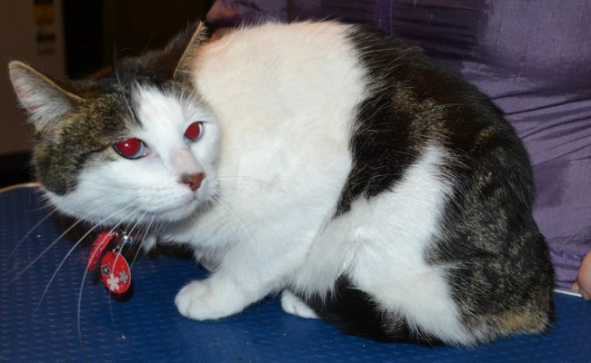 Cara is a Short hair Domestic. She had her fur shaved off, nails clipped, ears cleaned and a wash n blow dry. — at Kylies Cat Grooming Services