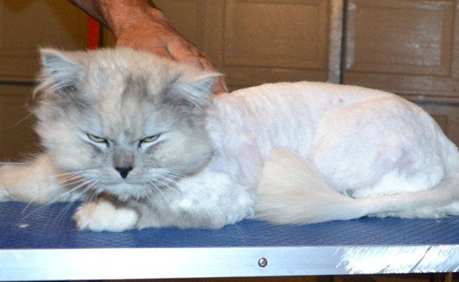 Vegas is a Chinchilla. He has his matted fur shaved of, nails clipped, ears cleaned, a wash n blow dry and White Softpaw nail caps put on. — at Kylies Cat Grooming Services.