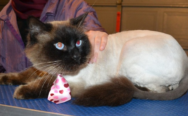 Findek is a Ragdoll. he had his fur shaved down, nails clipped, ears cleaned and a wash n blow dry. — at Kylies Cat Grooming Services.