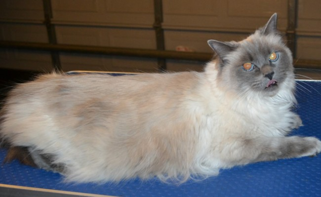 Lulu is a Ragdoll. She had her matted fur shaved off, nails clipped and ears cleaned. — at Kylies Cat Grooming Services.