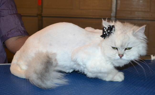 Bella is a Chinchilla. She had her fur shaved down, nails clipped and ears cleaned. — at Kylies Cat Grooming Services.