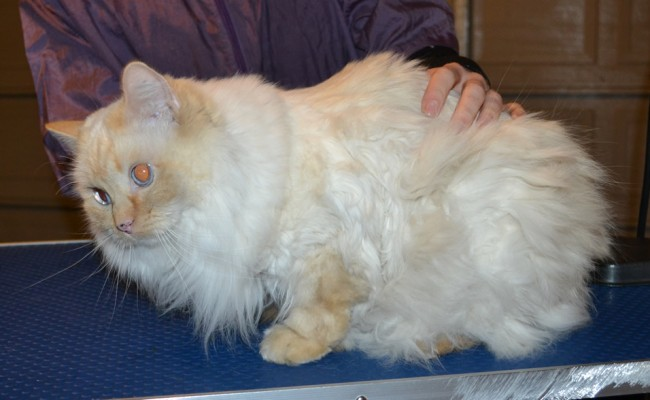 Lulu is a Ragdoll. She had her matted fur shaved of, nails clipped, ears cleaned and Baby Pink Softpaws. — at Kylies Cat Grooming Services.