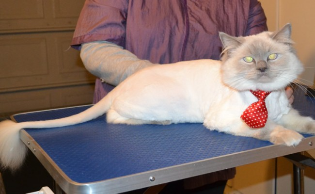 Harry is a Ragdoll. He had his fur shaved down, nails clipped and ears cleaned. — at Kylies Cat Grooming Services.