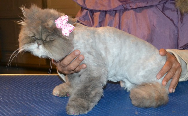 Girlpuss is a Persian. She had her matted fur shaved down, nails clipped, ears and eyes cleaned. — at Kylies Cat Grooming Services.