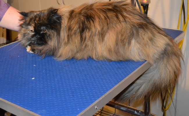 Paisley is a Ragdoll x Persian. She had her fur shaved down, nails clipped, ears cleaned and a wash n blow dry. — at Kylies Cat Grooming Services.