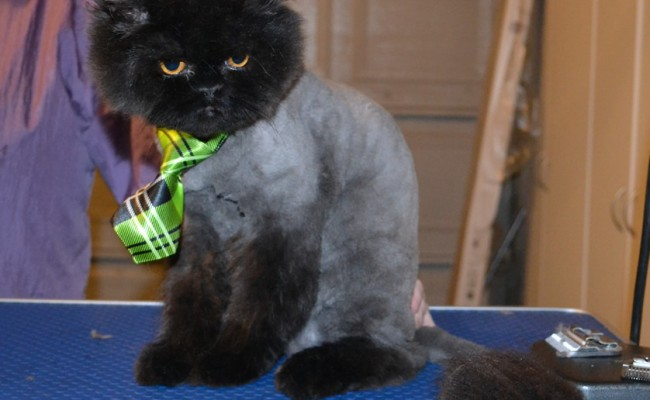 Bear is a Ragdoll x Persian. he had his fur shaved down, nails clipped, ears cleaned and a wash n blow dry. — at Kylies Cat Grooming Services.