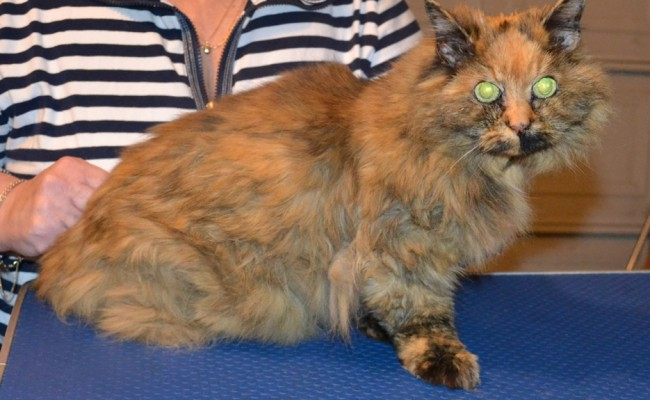 Jaffa is a 20 yr old Persian. She had her matted for shaved off, nails clipped and ears cleaned. — at Kylies Cat Grooming Services.