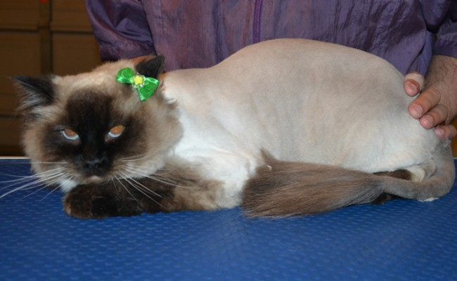 Maxie is a Ragdoll. She had her fur shaved down, nails clipped, ears cleaned and a wash n blow dry. — at Kylies Cat Grooming Services.