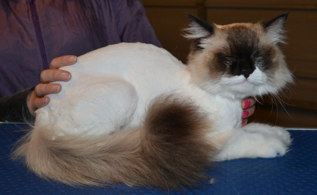 Millie is a Ragdoll. She had her matted fur shaved off, nails clipped and Blue Softpaw nail caps . She was a feisty one! — at Kylies Cat Grooming Services.