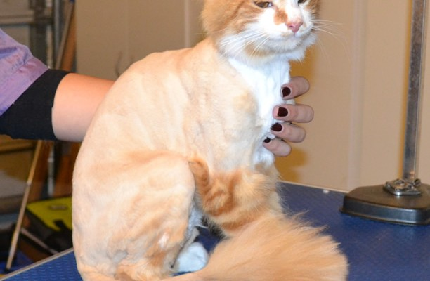 Walter is a medium hair Domestic. He had his fur shaved down, nails clipped ad ears cleaned. — at Kylies Cat Grooming Services.
