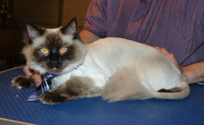Momo is a Ragdoll. He had his fur shaved down, nails clipped, ears cleaned and a wash n blow dry. — at Kylies Cat Grooming Services.