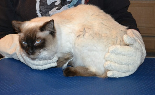 Mocha is a Ragdoll. She had her matted fur shaved off, nails clipped, ears cleaned, and wash n blow dry and Some Softpaw nail caps put on. — at Kylies Cat Grooming Services.