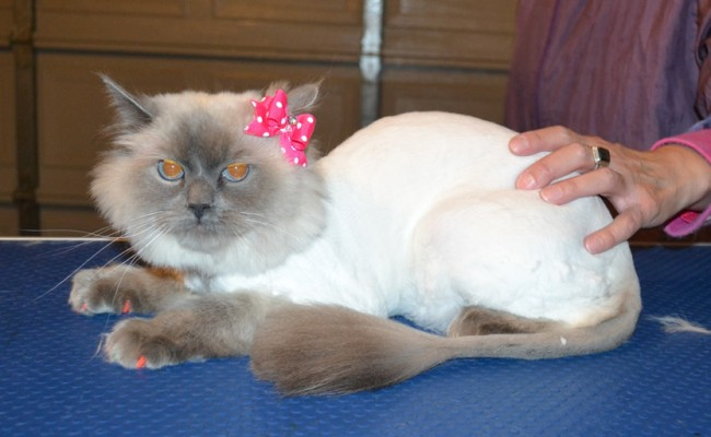 Poppy is a Ragdoll. She had her fur shaved down, nails clipped, ears cleaned and Orange Softpaw nail caps. — at Kylies Cat Grooming Services.
