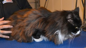 Richie is a Long hair Domestic. She had her matted fur shaved off, nails clipped and ears cleaned. — at Kylies Cat Grooming Services.