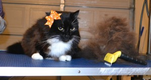 Sasha is a Medium Hair Domestic. She had her nails clipped, ears cleaned and her fur raked. — at Kylies Cat Grooming Services.