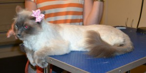 Bell is a Ragdoll, She had a comb clip, nails clipped, ears cleaned, wash n blow dry and Softpaws put on . — at Kylies Cat Grooming Services.