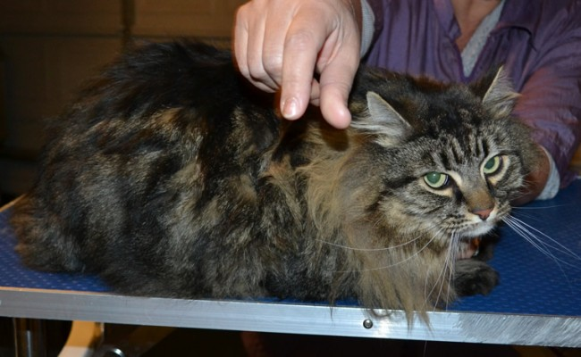 Tommy is a Long hair Domestic. He has his matted fur shaved down, nails clipped and ears cleaned. — at Kylies Cat Grooming Services.