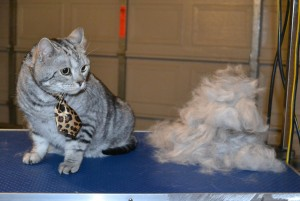 Oliver is a British Short Hair. He had his fur raked, nails clipped and ears cleaned. — at Kylies Cat Grooming Services.