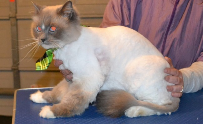 Pizza is a Ragdoll. He had his matted fur shaved of, nails clipped and ears cleaned. — at Kylies Cat Grooming Services.
