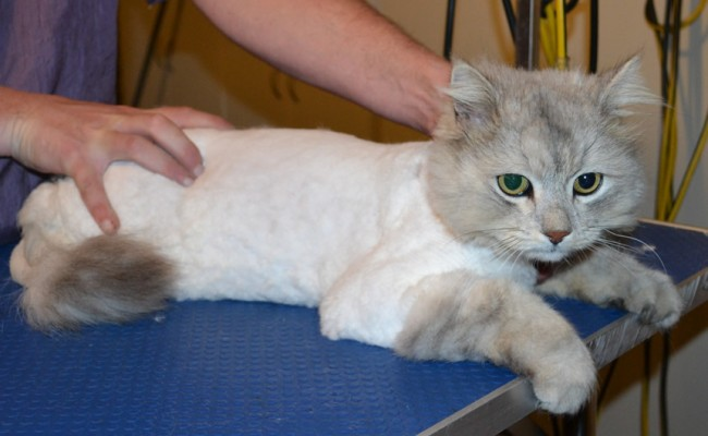 Tom is a Chinchilla x. He had his matted fur shaved off, nails clipped and ears cleaned. — at Kylies Cat Grooming Services.