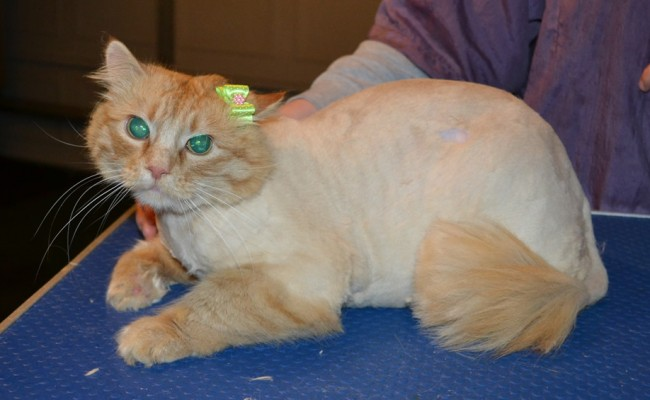 Bobby is a Medium hair Domestic. She had her matted fur shaved down, nails clipped, ears cleaned and a wash n blow dry. — at Kylies Cat Grooming Services.