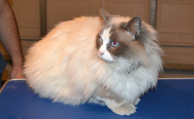 Zoe is a Ragdoll. She had her matted fur shaved off, nails clipped, ears cleaned and a wash n blow dry. — at Kylies Cat Grooming Services.