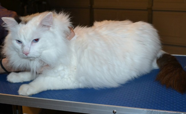 Stewie is a Ragdoll. He had his fur shaved off, nails clipped, ears cleaned and a wash n blow dry. — at Kylies Cat Grooming Services.