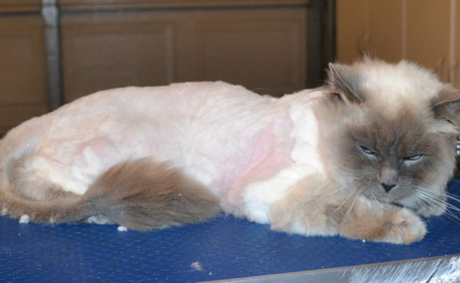 Red is a Ragdoll. He had his bad matted fur shaved right off, nails clipped, ears cleaned and a wash n blow dry. — at Kylies Cat Grooming Services.