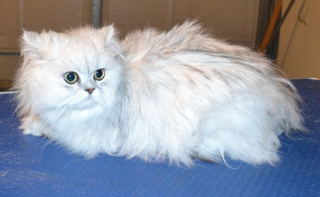 Alaska is a Chinchilla. She had her matted fur shaved off, nails clipped and ears cleaned. — at Kylies Cat Grooming Services.