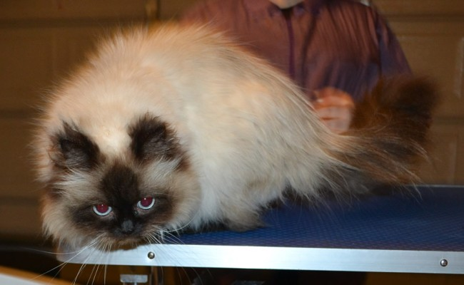 Eesha is a Ragdoll. She had her matted fur shaved off, nails clipped, ears and eyes cleaned and a wash n blow dry. — at Kylies Cat Grooming Services.